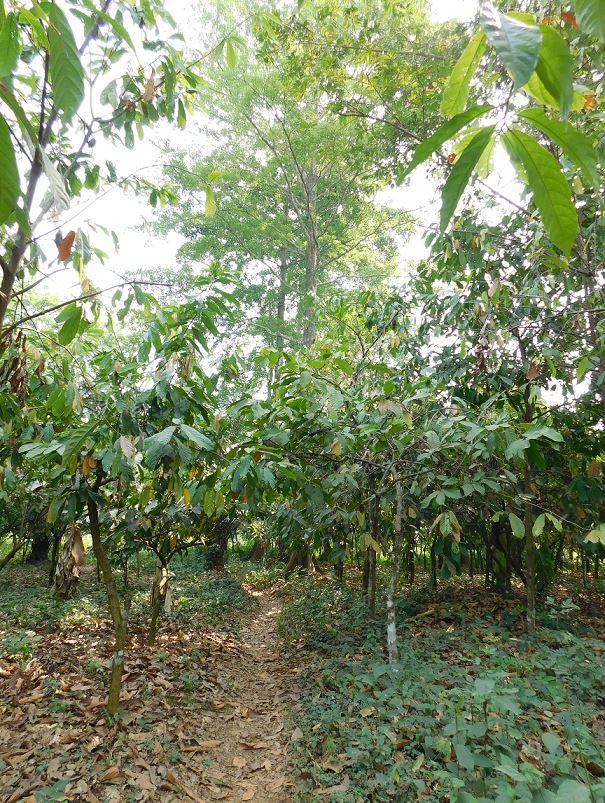Plantation de cacaoyers sous abri d'arbres fertilitaires